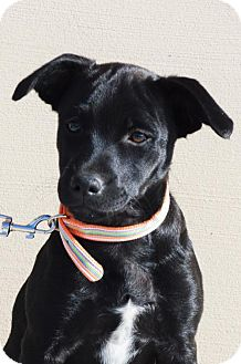 German Shepherd Dog/Australian Cattle Dog Mix Puppy for adoption in Gretna, Nebraska - Lily *Jasmine's Puppy*