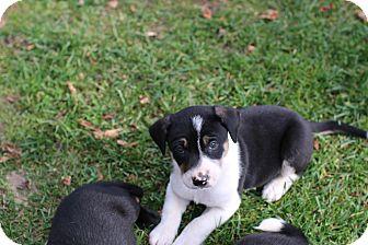 Labrador Retriever/Corgi Mix Puppy for adoption in CHESTERFIELD, Michigan - Krull