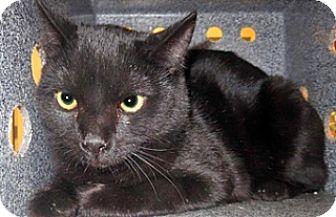 Domestic Shorthair Cat for adoption in Wildomar, California - 321764