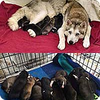 Husky Mix Puppy for adoption in Chantilly, Virginia - Angel Pup 9