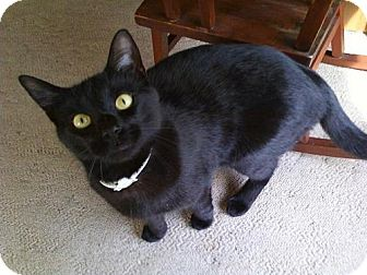Domestic Shorthair Cat for adoption in Somerville, Massachusetts - Jasper