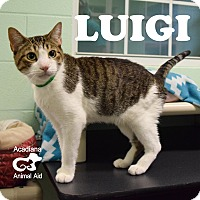 Domestic Shorthair Cat for adoption in Carencro, Louisiana - Luigi