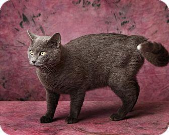 Domestic Shorthair Cat for adoption in Harrisonburg, Virginia - The Purrinator