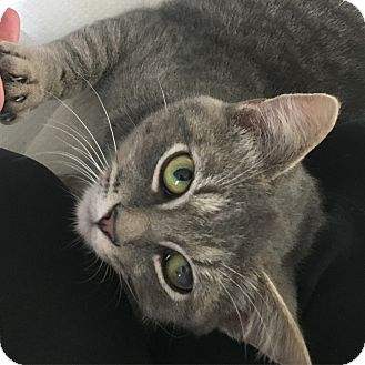 Domestic Shorthair Cat for adoption in Denver, North Carolina - Creole