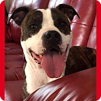 Adopt A Pet :: Ivy - Mt. Clemens, MI