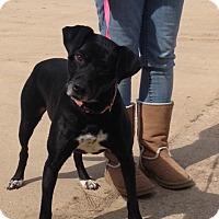 Labrador Retriever Mix Dog for adoption in Baton Rouge, Louisiana - Chloe