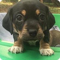 Adopt A Pet :: Goose - Gainesville, FL