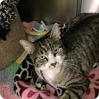 Adopt A Pet :: Mr. Binx - Glendale, AZ