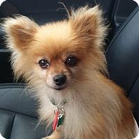 Adopt A Pet :: Fuego - conroe, TX