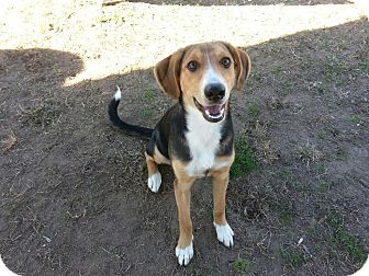 Colonial Heights, VA - Beagle/Foxhound Mix. Meet Maggie a ...