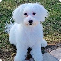 Adopt A Pet :: Maddison - Rancho Cucamonga, CA
