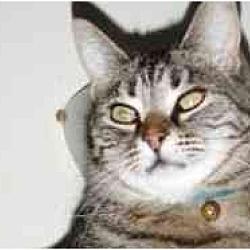 Photo 3 - Domestic Shorthair Cat for adoption in Pasadena, California - Togo