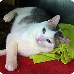 Photo 4 - Domestic Shorthair Cat for adoption in Kansas City, Missouri - Tilt