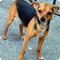 Adopt A Pet :: Tink - Bridgeton, MO