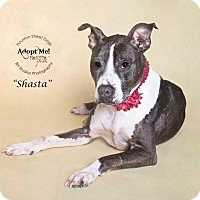 Adopt A Pet :: Shasta - Houston, TX
