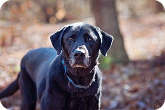 Labrador Retriever Mix Dog for adoption in Brattleboro, Vermont - Willy