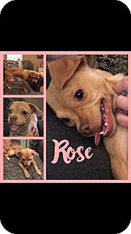 Pug/Chihuahua Mix Dog for adoption in Longview, Texas - Rose