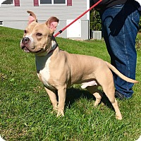 Staffordshire Bull Terrier Mix Dog for adoption in Lafayette, New Jersey - Lil' Mack