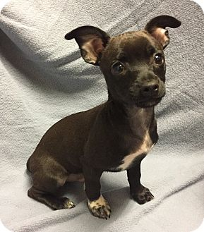 Toy Fox Terrier/Dachshund Mix Puppy for adoption in Santa Ana, California - Bronson (ARSG)