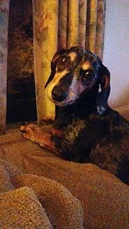 Dachshund Mix Dog for adoption in Georgetown, Kentucky - Snoopy