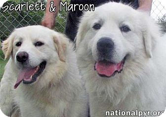Great Pyrenees Dog for adoption in Beacon, New York - Scarlett & Maroon / Needs Foster - new!