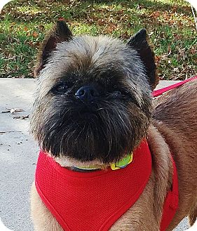 Brussels Griffon Dog for adoption in Overland, Kansas - LEVI - Adoption Pending