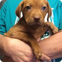 Adopt A Pet :: Punkin - Palmyra, PA