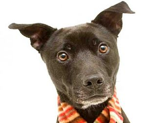 Labrador Retriever Dog for adoption in Orlando, Florida - AMMO