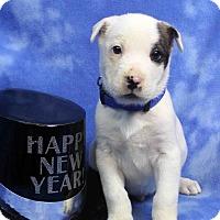 Adopt A Pet :: TACO - Westminster, CO