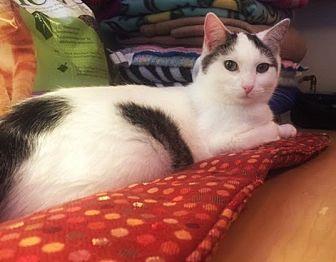 Domestic Shorthair Cat for adoption in Burlington, North Carolina - ROSIE