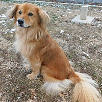 Golden Retriever/Chow Chow Mix Dog for adoption in Hedgesville, West Virginia - Zoe