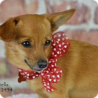 Adopt A Pet :: Stella - Conroe, TX