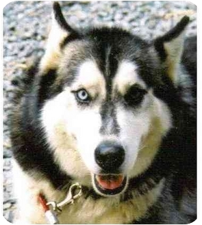 Coyote Jake | Adopted Dog | Only, TN | Siberian Husky