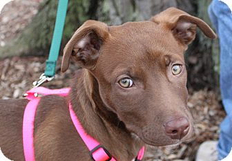 Vizsla/Labrador Retriever Mix Puppy for adoption in Louisville, Kentucky - Penny