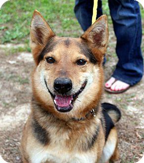 German Shepherd Dog/Collie Mix Dog for adoption in Charlemont, Massachusetts - Bear