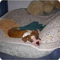 Adopt A Pet :: Pongo - Brunswick, GA