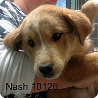 Adopt A Pet :: Nash - baltimore, MD