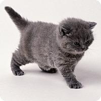 Adopt A Pet :: Mercury - Brockton, MA