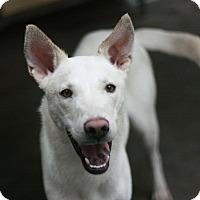 Adopt A Pet :: Samuel - Canoga Park, CA
