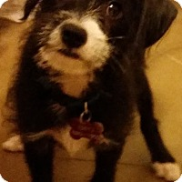 Adopt A Pet :: Charlie meet me 11/20 - East Hartford, CT