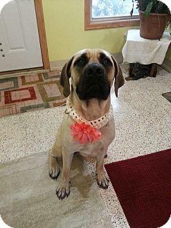 Great Dane/Mastiff Mix Dog for adoption in Garden City, Michigan - Dixie