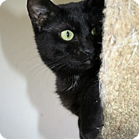 Domestic Shorthair Kitten for adoption in Santa Rosa, California - Felicity