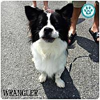 Adopt A Pet :: Wrangler - Kimberton, PA