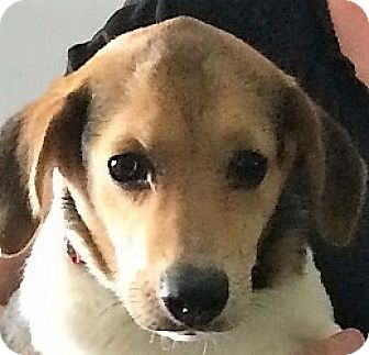 Beagle Mix Puppy for adoption in Germantown, Maryland - Wee Willie