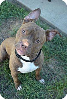 Pit Bull Terrier Mix Dog for adoption in Elizabethtown, Pennsylvania - Carter