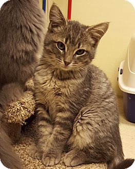 Domestic Shorthair Kitten for adoption in Grayslake, Illinois - Cassander