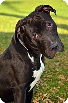 Pit Bull Terrier Mix Dog for adoption in Neenah, Wisconsin - Flash