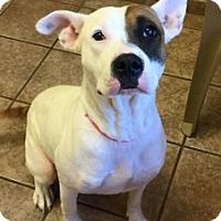 Pit Bull Terrier Mix Dog for adoption in Joplin, Missouri - Felicity 111152