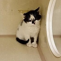Adopt A Pet :: Pippin - Westbury, NY