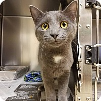Domestic Shorthair Cat for adoption in Windsor, Virginia - Blur